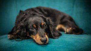 Uzroci nastanka anemije kod pasa i način lečenja 3