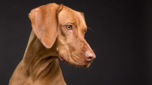 Uzroci nastanka anemije kod pasa i način lečenja 2