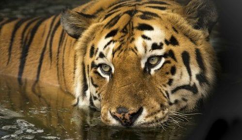 Tigrica ubila čuvarku u zoološkom vrtu u Cirihu 1