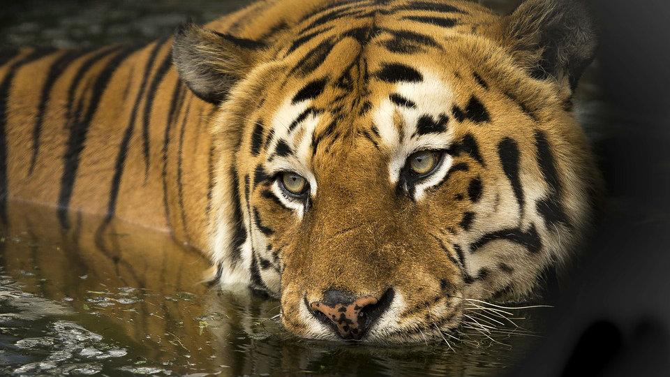 Šest lavova i tri tigra u zoo vrtu u Vašingtonu pozitivna na kovid-19 1