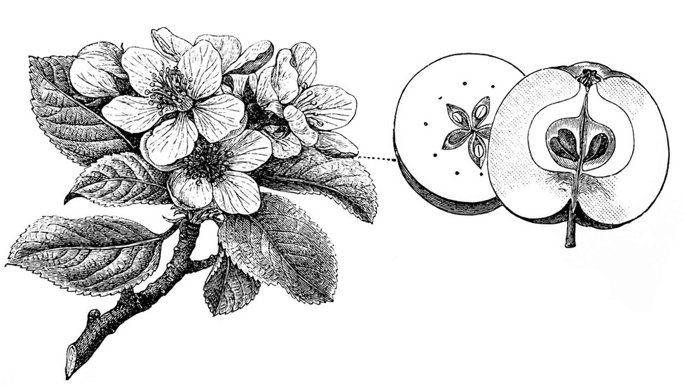 Ilistracija cveta i voćke
