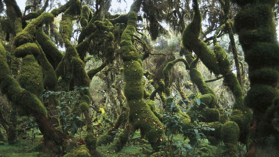 šuma u etiopiji