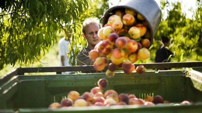 Rusi zabrinuti zbog voća iz Srbije 5