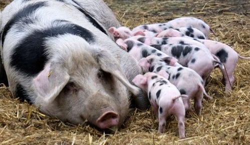 Afrička svinjska kuga ne mora biti fatalna za izvoz mesa 13