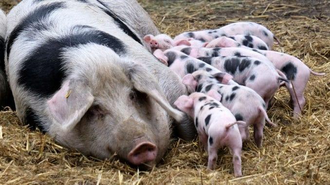 Afrička svinjska kuga ne mora biti fatalna za izvoz mesa 1