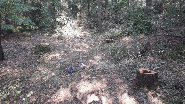 Rašumljavanje i seča stabala u Miljakovačkoj šumi 1