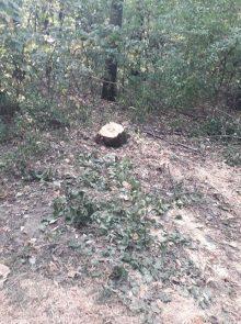 Rašumljavanje i seča stabala u Miljakovačkoj šumi 4