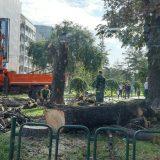Zelenilo Beograd: Stabla u Čuburskom parku rizik za građane 9