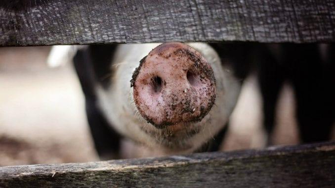 Afrička kuga svinja pod kontrolom u Srbiji, nema odlaganja prestanka vakcinacije od klasične kuge 3