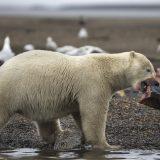 Voda na Aljasci toliko topla da lososi umiru 2