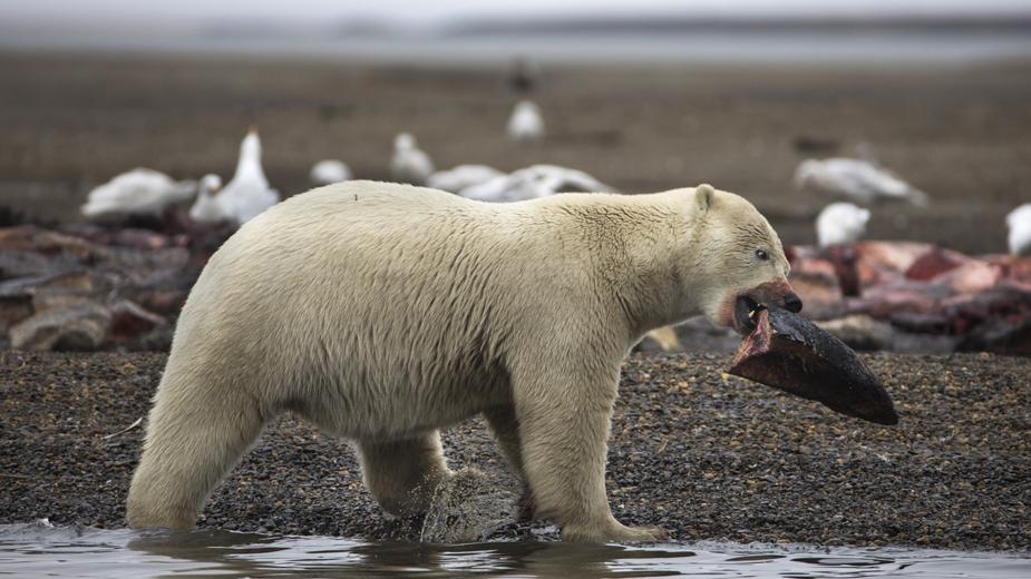 Voda na Aljasci toliko topla da lososi umiru 1