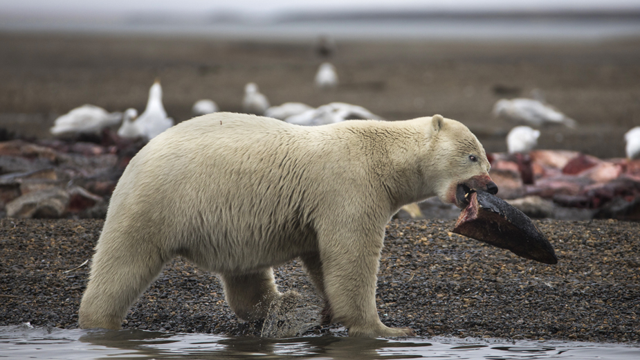Princ ubio najvećeg medveda u Rumuniji 1