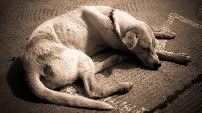 Uzroci nastanka anemije kod pasa i način lečenja 1