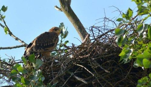 Prvi letovi mladunaca orla krstaša (VIDEO) 4