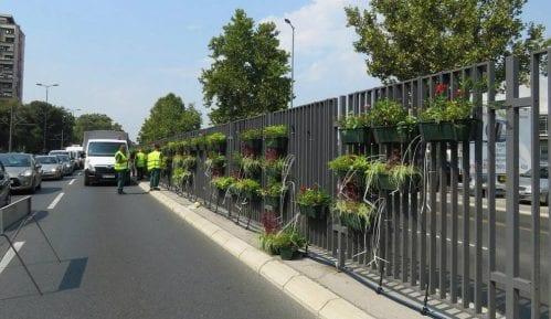 Cveće na razdelnoj ogradi beogradskog bulevara protiv buke i zagađenja 1