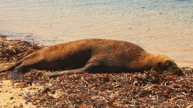 Droga i životinje: Besna foka pomogla australijskoj policiji u hapšenju krijumčara 1