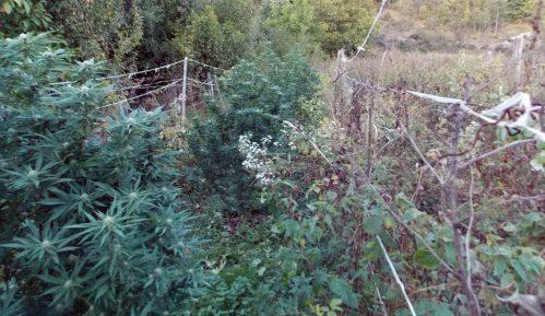 Uzgajao marihuanu u malinjaku 7