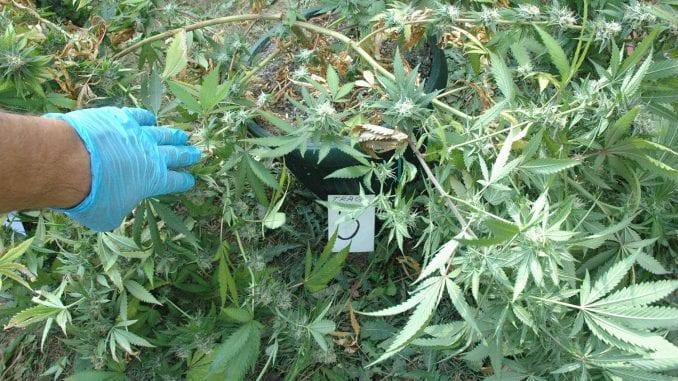Uhapšen zbog uzgoja marihuane 4