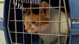 Koliko je godišnji sistematski pregled važan za mačku? 2