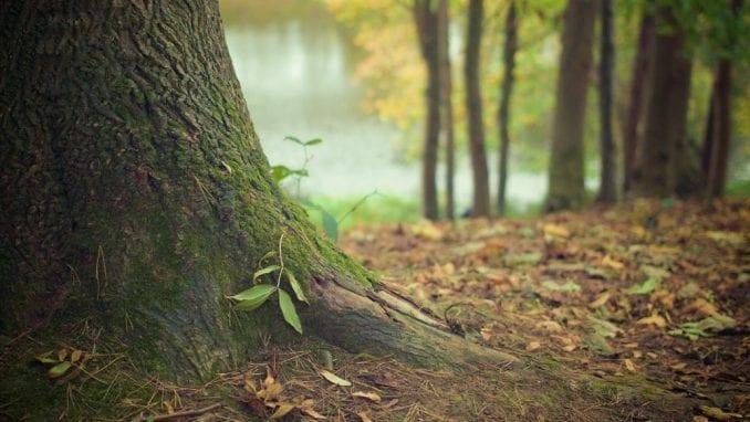 Polovini vrsta drveća u Evropi preti nestajanje 1