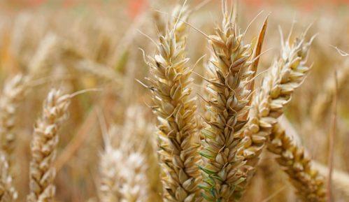 Kiše odložile setvu pšenice u Srbiji 5