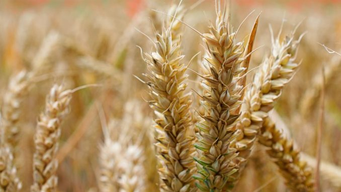 Saković: Poskupeli pšenica i kukuruz i u Srbiji zbog veće tražnje u zdravstvenoj krizi 3