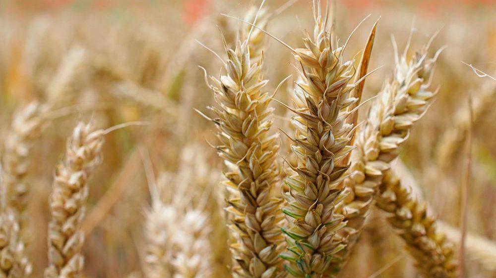 Cena nafte ponovo u padu, pšenica sve skuplja 1