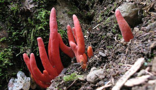 Jedna od najotrovnijih gljiva pronađena u Australiji 4