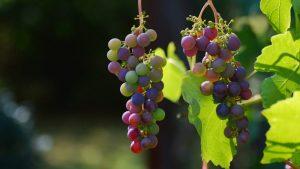 Kako klimatske promene utiču na vinogradarstvo u Srbiji 2
