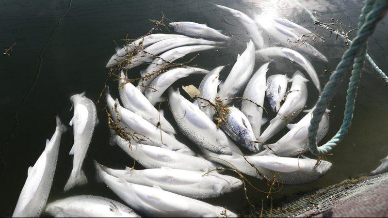 Misteriozna smrt ugroženih lososa u Tihom okeanu 1