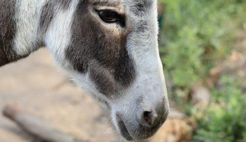 Klanje afričkih magaraca zbog kineske kreme 2