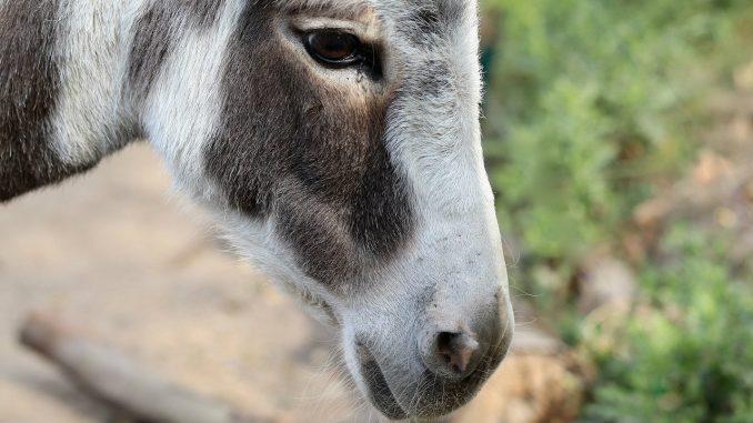 Klanje afričkih magaraca zbog kineske kreme 1