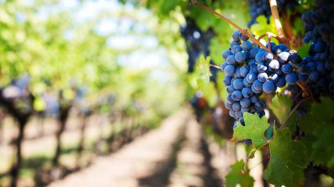 Kako klimatske promene utiču na vinogradarstvo u Srbiji 1