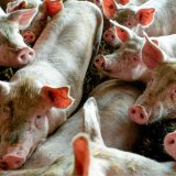 Bulatović (SSP): Ugrožen opstanak svinjarstva u Nišavskom okrugu 4