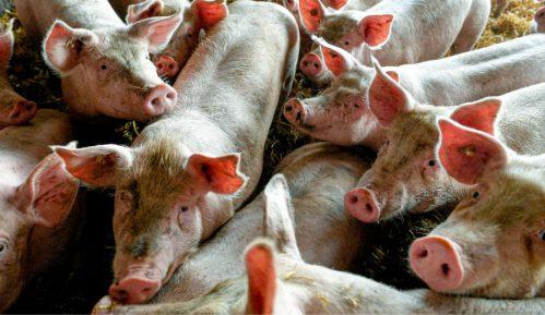 Kasni izvoz svinja u Kinu, novi rok decembar 5