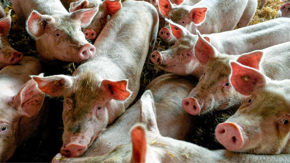 Bulatović (SSP): Ugrožen opstanak svinjarstva u Nišavskom okrugu 1