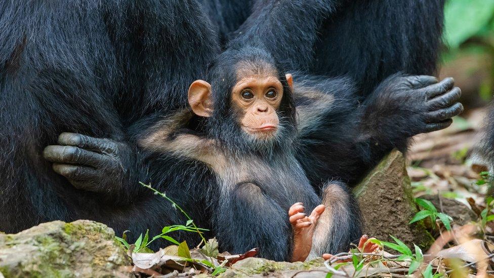 majmunče