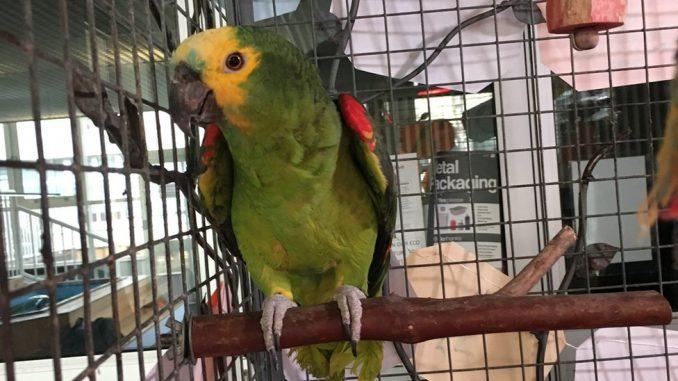 Papagaj u školi u Džersiju slavi 70. rođendan 1