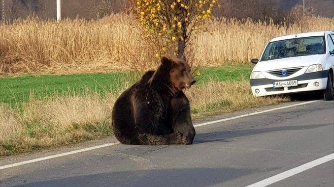 Rumunija i medvedi: Strah zbog smrtonosnog niza napada životinja 1