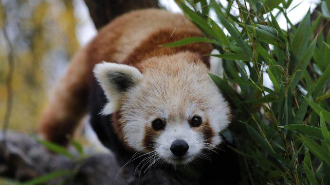 Crvena panda: Mužjak ugrožene vrste pobegao iz zoo vrta u Francuskoj 3