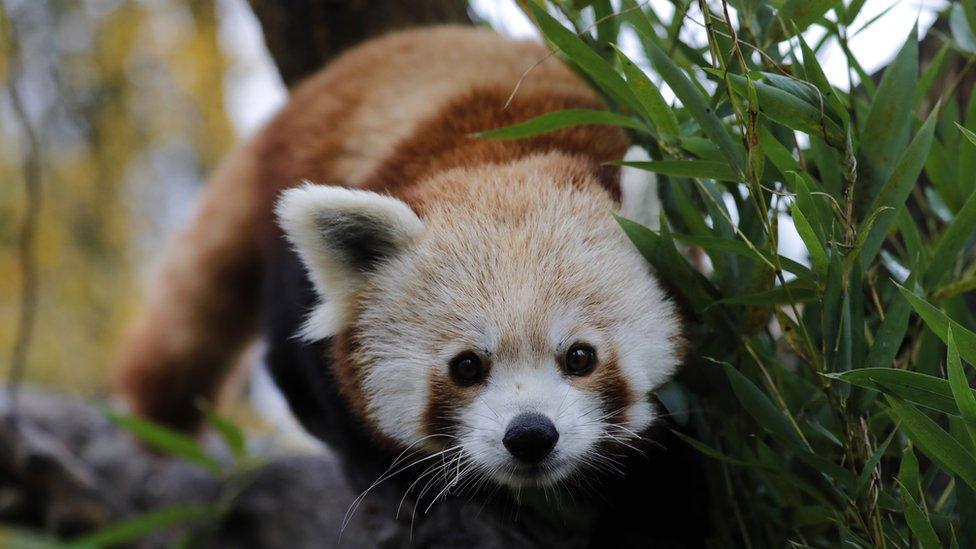 crvena panda u zoo vrtu u zagrebu