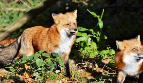 Kruševac: Pojavile se lisice 15