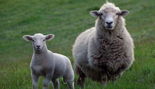 Čobanin iz sela kod Rače kažnjen zbog čuvanja ovaca u vreme policijskog časa 15