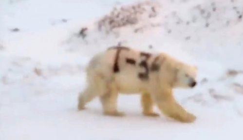 Polarni medved i Rusija: Životinja ispisana sprejom 7