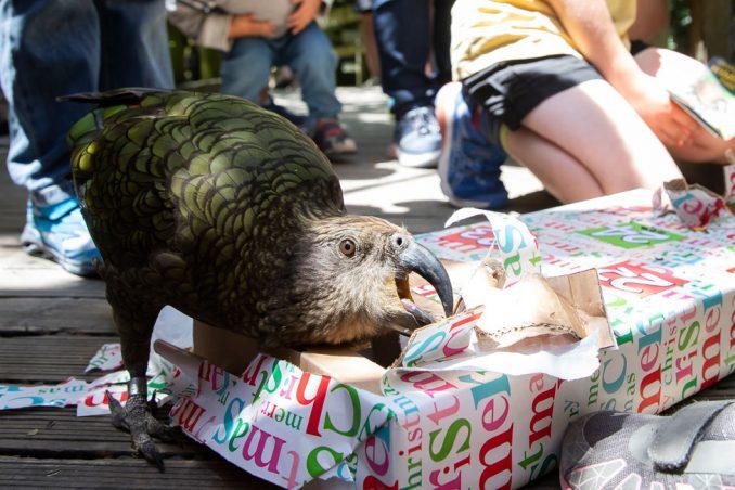 Životinje u zoološkom vrtu uživaju u božićnim poklonima - hrani, naravno 2