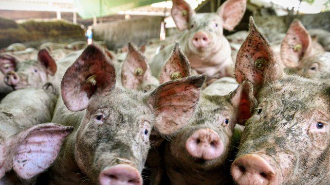 Južne vesti: Epidemija afričke kuge i dalje na snazi, pogubljeno oko 1.000 svinja od početka godine 4
