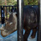 Uginuo poslednji sumatranski nosorog Malezije 3
