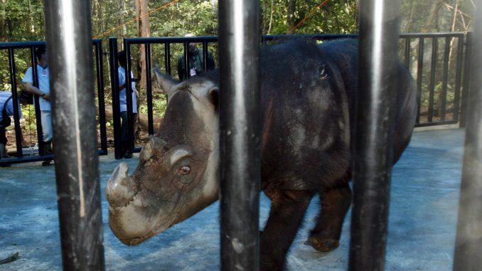 Uginuo poslednji sumatranski nosorog Malezije 1