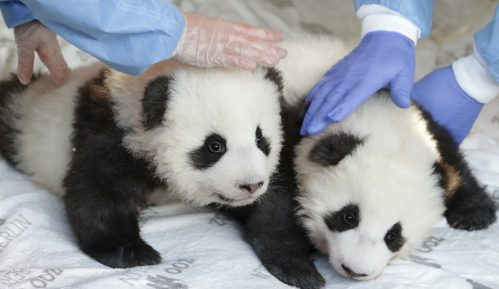 Berlinski zoo vrt otkrio imena i pol dva mladunčeta pande 11