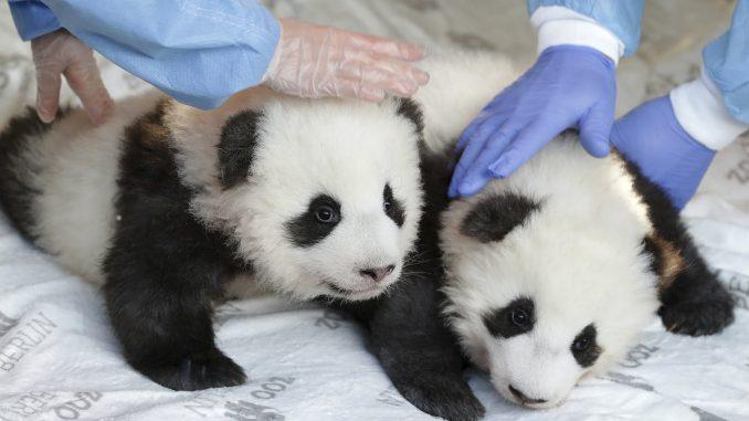 Berlinski zoo vrt otkrio imena i pol dva mladunčeta pande 1